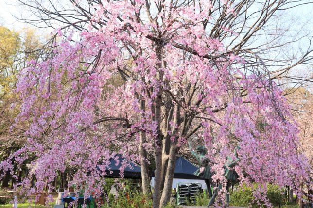 大阪城公園の満開の桜