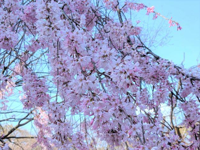 大阪城公園の桜の花のアップ