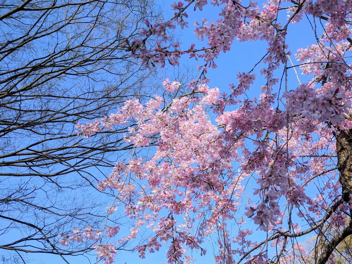 大阪城公園の桜の花を下から見上げたところ