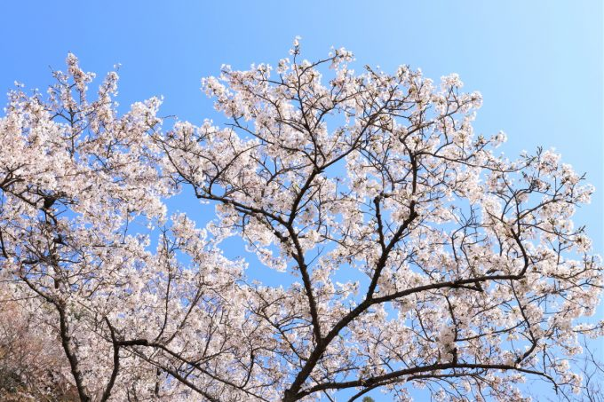 大阪の神社で咲いていた満開の桜