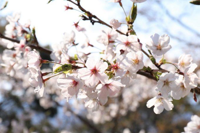 大阪の神社で満開の桜の枝の先