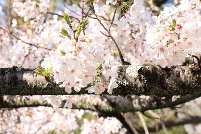 太い枝の桜の花が満開