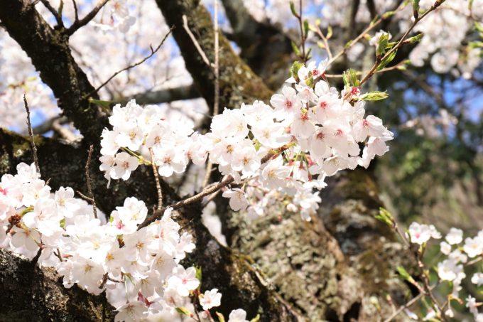 4月に満開の桜が咲いているところ