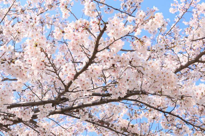 大阪で満開になっている桜の木