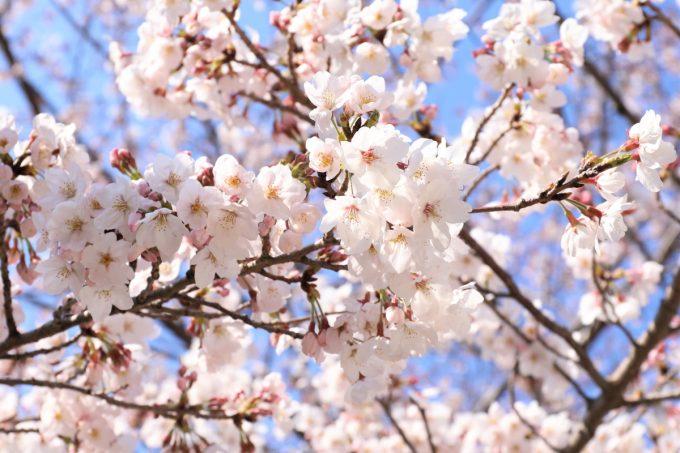 大阪で満開の桜